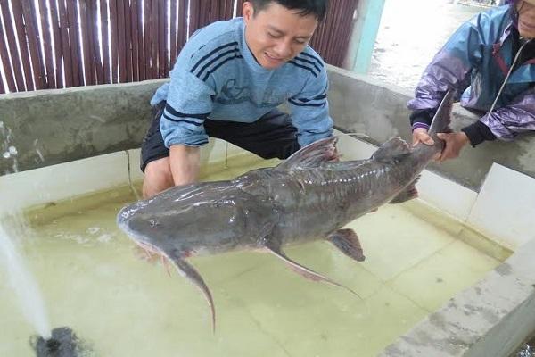 Kỹ thuật nuôi cá chiên trong lồng cho người dân phát tài - ảnh 1