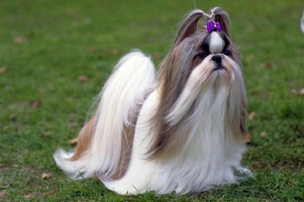 Kỹ thuật nuôi chó Shih Tzu sang chảnh, giỏi trông nhà - ảnh 1