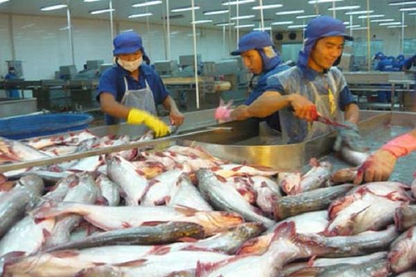 kỹ thuật nuôi cá tra trong ao năng suất lớn cho lãi ròng - ảnh 1