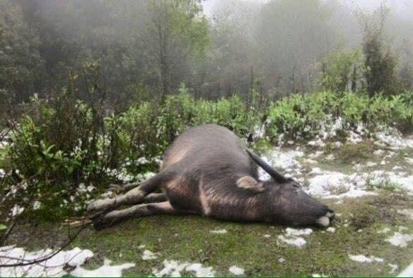 Một con trâu của người dân ở Yên Bái chết rét trong đợt rét kỷ lục ngày 24/1