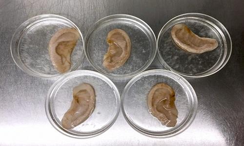 Khung cellulose từ táo được nuôi cấy tế bào sống của người. Ảnh: Andrew Pelling