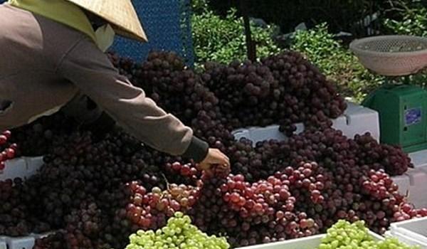 Nhiều tiểu thương buôn nho cho biết nho xanh Ninh Thuận là loại có hạt, vị hơi chua
