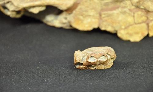 Hóa thạch loài rùa mũi lợn gần như còn nguyên vẹn. Ảnh: Bảo tàng Lịch sử Tự nhiên Utah