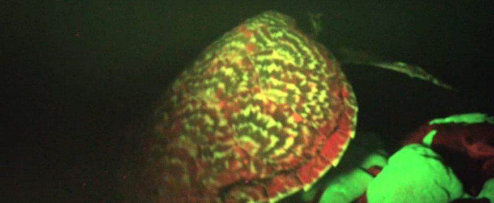 Đây là một loài rùa biển đồi mồi cực kỳ quý hiếm. Ảnh Sciencealert