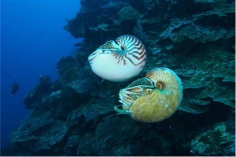 Ốc anh vũ cực hiếm thuộc chi Allonautilus (dưới) và ốc anh vũ thuộc chi Nautilus (trên)