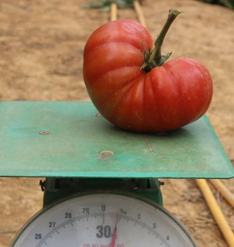 Mỗi quả cà chua Đà Lạt khổng lồ này nặng tới gần 1kg