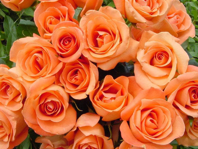 """Kết quả hình ảnh cho màu sắc hoa hồng"""""""