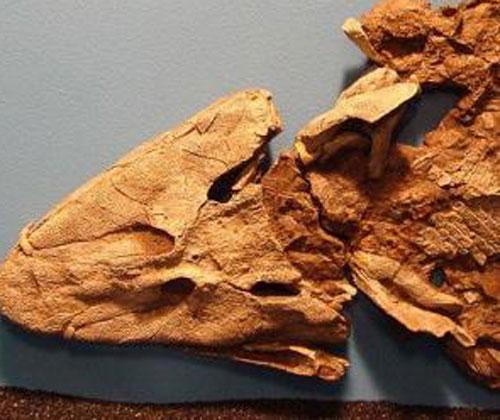 nhà khoa học, hóa thạch, khai quật,  hóa thạch Tiktaalik