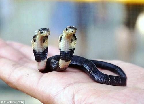 Dù còn nhỏ nhưng con rắn lạ có 2 đầu này vẫn khiến nhiều người phải khiếp sợ