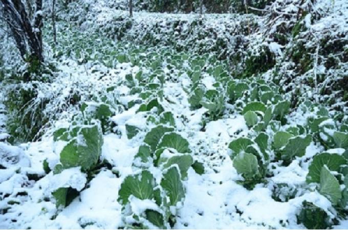 Tại tỉnh Hà Giang, nhiều nơi đã có tuyết rơi, có những xã băng giá đã bao phủ gần như toàn bộ diện tích, có nơi băng dày hàng chục cm. Ảnh pháp luật +