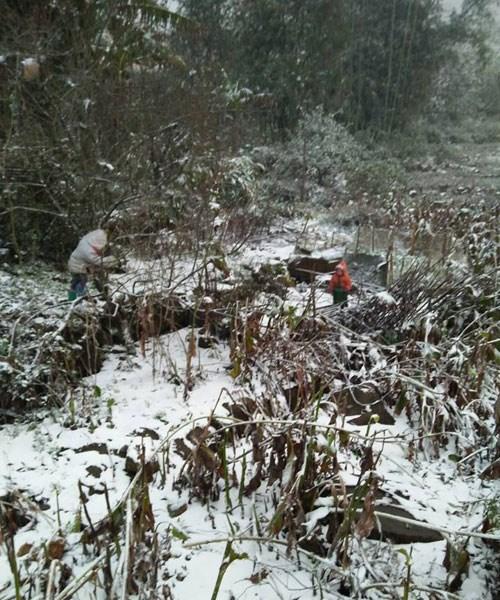 Gần 2.000 ha thảo quả của Lào Cai bị tuyết phủ. Ảnh an ninh Thủ Đô