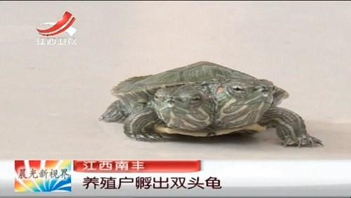 Hiện chú rùa hai đầu này vẫn đang sống khỏe mạnh không ốm yếu như những động vật hai đầu khác