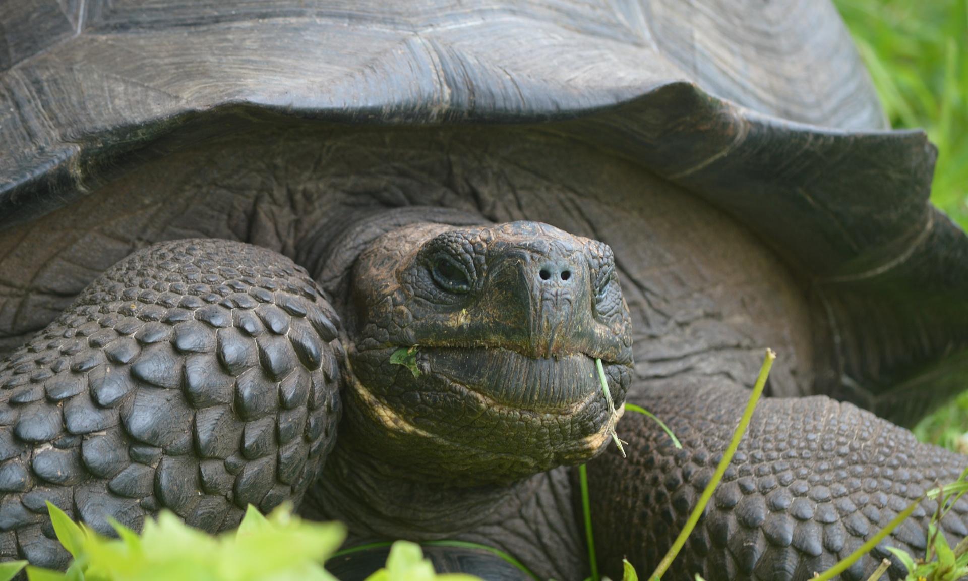 Nhiều cá thể rùa khổng lồ trên quần đảo Galapagos được xác định thuộc loài mới