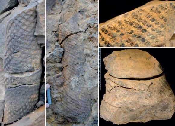 Hóa thạch của cây thạch tùng ở rừng Svalbard, Na Uy