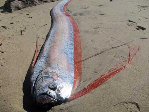 Sinh vật biển kỳ lạ được mệnh danh là 'rồng biển' dự báo động đất