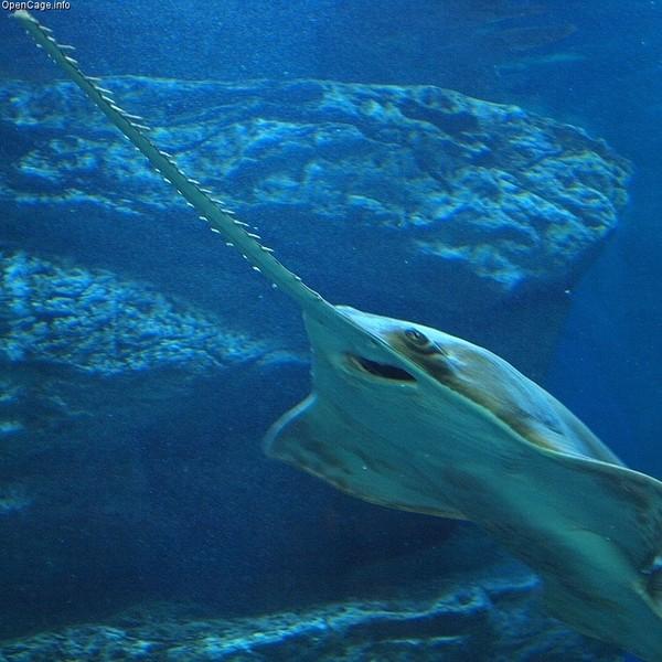 Cá kiếm (cá đao) được mệnh danh là 'trinh nữ sinh con'