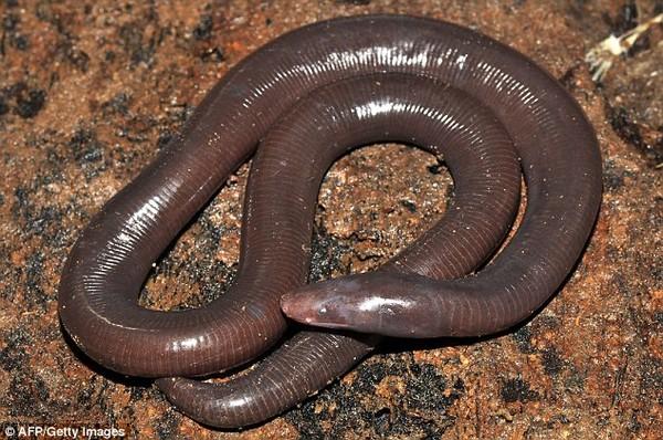 Xuất hiện sinh vật lạ vừa giống giun vừa giống rắn ở Campuchia