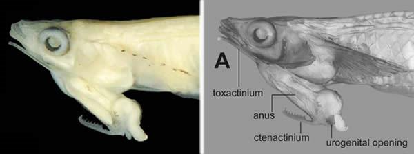 Sinh vật lạ - loài cá có tuyến sinh dục nằm trên đầu ở Việt Nam