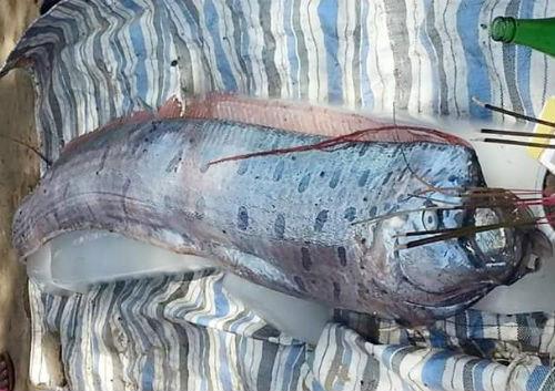 Sinh vật lạ trôi dạt vào bờ biển Thanh Hóa là dòng cá mái chèo cỡ lớn