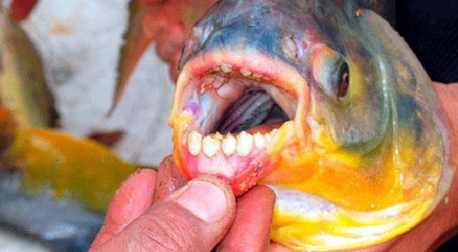 Hãi hùng với loài sinh vật lạ -  cá biển mệnh danh 'máy cắt tinh hoàn'