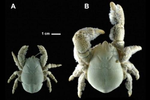 Loài sinh vật lạ mình đầy lông lá được biết là loài cua 'Người Tuyết'