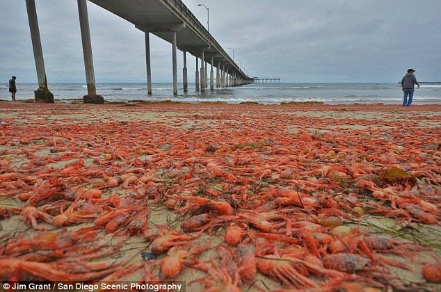 Cảnh tượng bờ biển Mỹ bị nhuộm đỏ bởi những con cua
