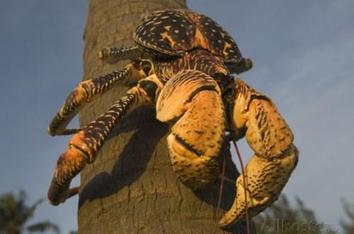Thậm chí, cua dừa còn tấn công cả con người khi con người dám động chạm vào nơi ở của chúng, hoặc trêu chọc chúng