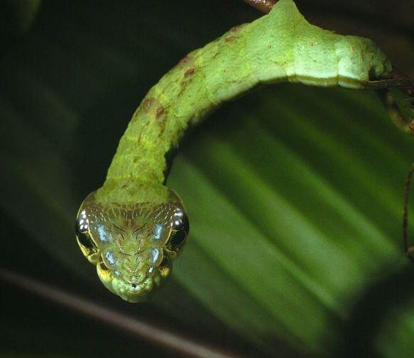 Loài sâu bướm này được coi là 'sinh vật lạ' so với họ hàng của nó nhờ biệt tài 'hóa trang' thành rắn