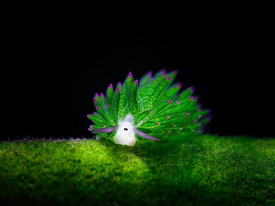 Loài sinh vật lạ này trông rất giống chú cừu non màu xanh