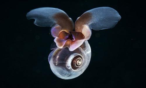 Cách loài ốc sên biển di chuyển trong nước. Ảnh: David Murphy