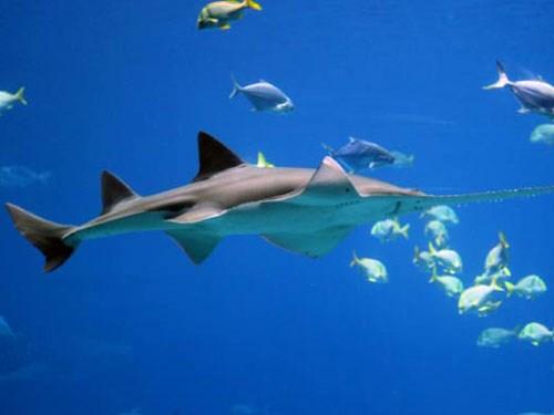 Phát hiện loài cá gai góc sinh sản không cần 'lấy chồng'