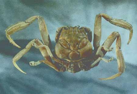 Cua Heike là loài sinh vật mặt người xuất hiện trên mai của mình