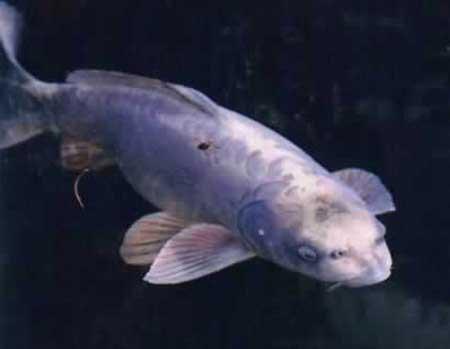 Cá chép Koi là loài sinh vật mặt người hiếm thấy