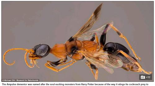 Loài ong Ampulex dementor. Ảnh Daily Mail