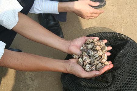 Ốc hương là loài thủy sản có giá trị kinh tế cao