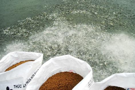 Các nguyên tố vi lượng có vai trò quan trọng trong việc tăng cường khả năng miễn dịch ở cá