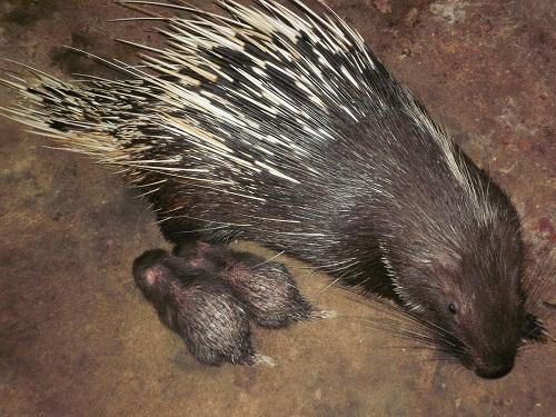 Nhím được 12 -18 tháng tuổi là có thể phối giống và sinh sản