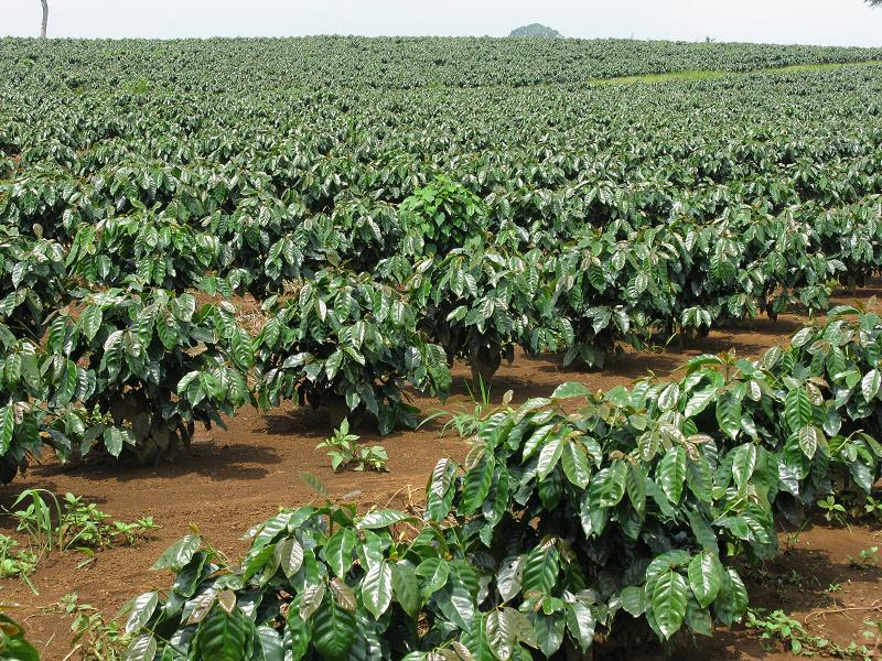 Gibberellin  kích thích cây cà phê ra hoa nhiều, nhanh và đồng loạt.