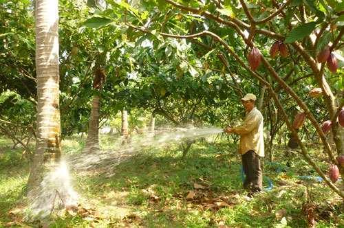 trồng dừa xen ca cao làm tăng 55% năng suất dừa so với trồng chuyên