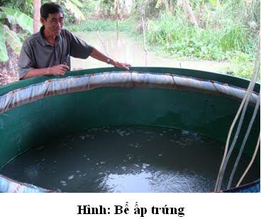 Bể dùng để ấp trứng cá rô đồng sau khi sinh sản nhân tạo
