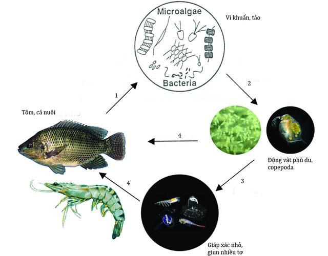 Chuỗi thức ăn được sử dụng trong quá trình nuôi tôm bằng công nghệ Copefloc