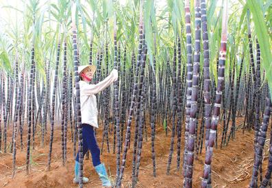 Vùng mía Thạch Thành đã mạnh dạn đưa khoa học- công nghệ, giống mới vào sản xuất