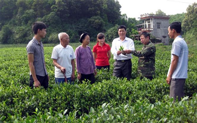 Tăng năng suất chất lượng của cây chè Thái Nguyên là mục tiêu đề án