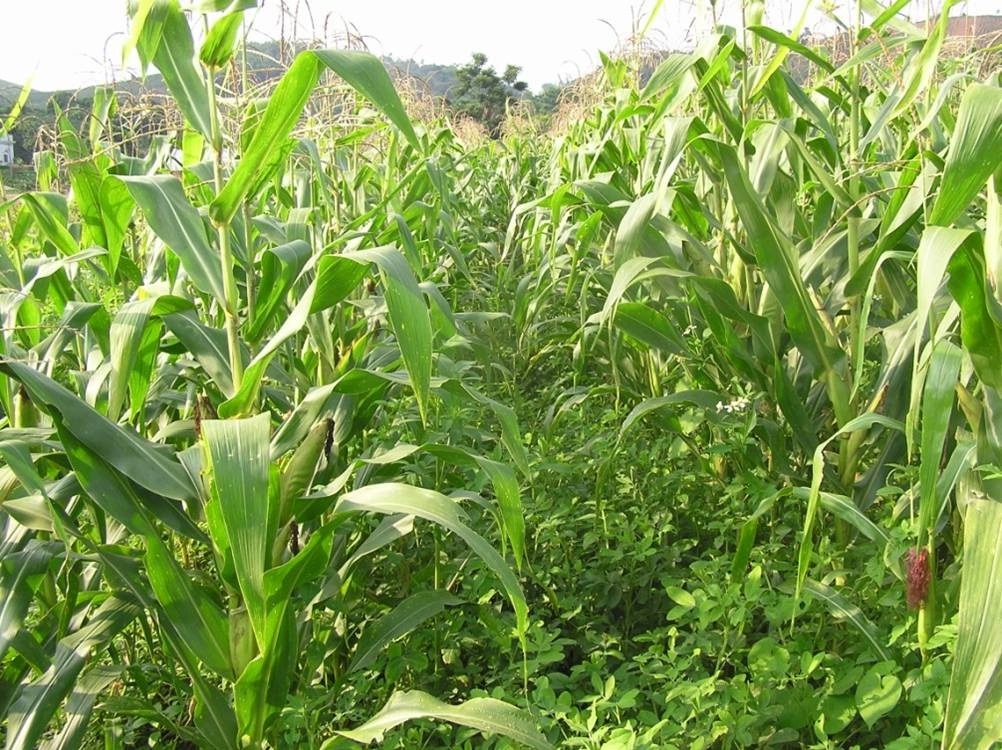 Mô hình trồng ngô xen canh lạc đem lại năng suất cao từ cả 2 giống