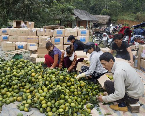 Cây cam đang giúp cho người dân xã Phù Lưu Làm giàu một cách bền vững