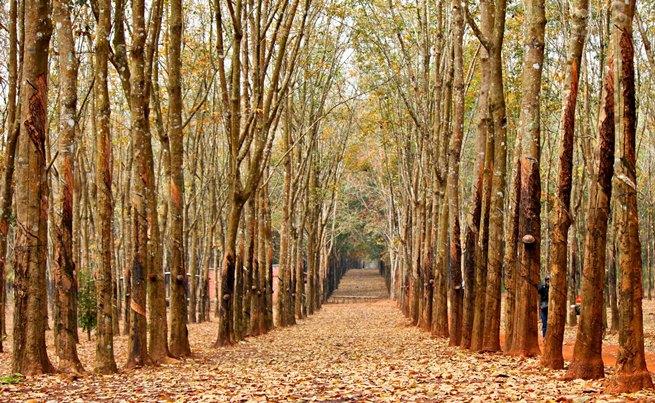 Những cánh rừng cao su mùa thay lá là địa điểm du lịch Tết dương lịch 2015 hấp dẫn