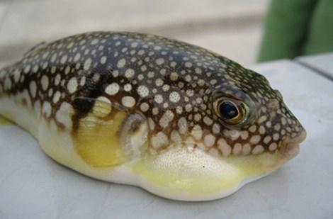 Cá nóc là một hải sản có độc rất cao có thể khiến cho nhiều người tử vong
