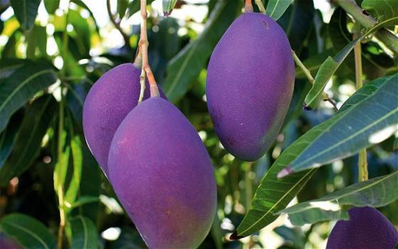 Xoài tím là một trong số những trái cây độc lạ đang khiến người tiêu dùng thích thú