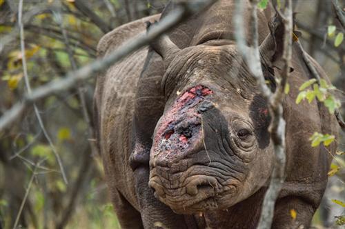 Chữa bệnh bằng sừng tê giác góp phần làm tăng nguy cơ tuyệt chủng của tê giác