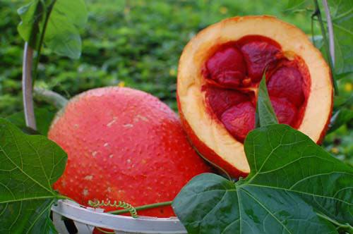 Gấc là thực phẩm giúp phòng ngừa nhiều loại bệnh tật
